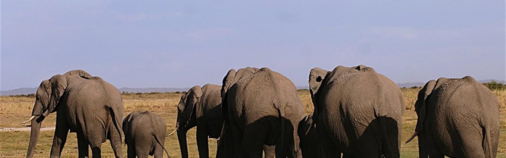 Marco Polo - Ol Tukai Lodge Amboseli - Sloni jsou opravdovými vládci Amboseli.