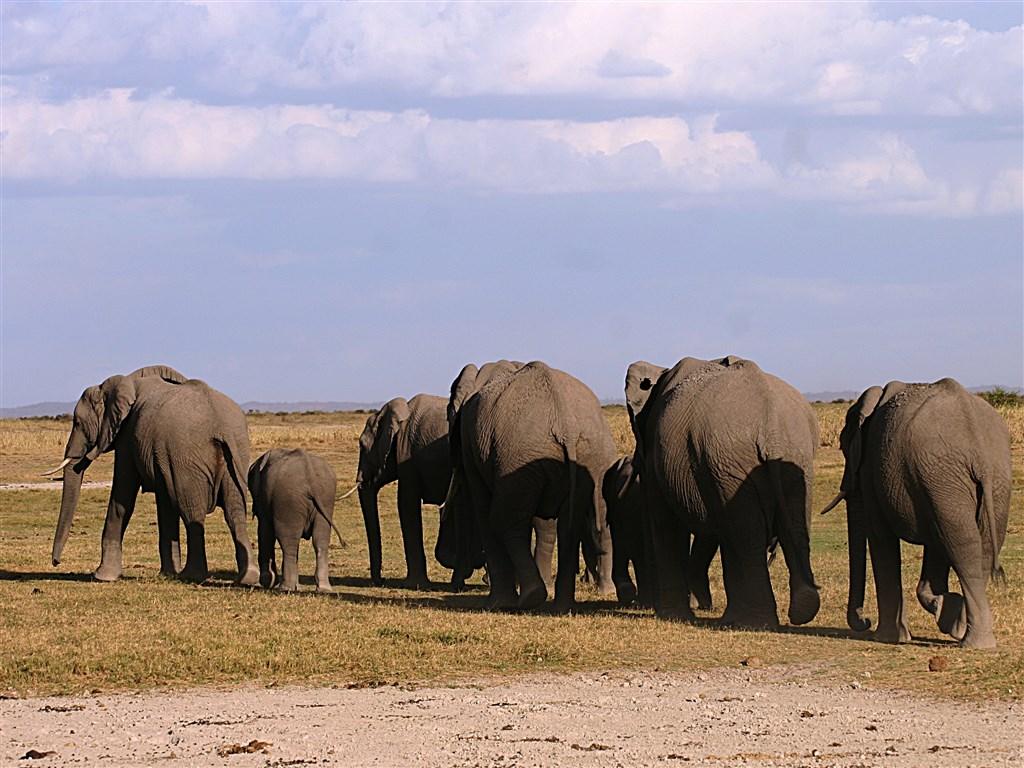 Sloni jsou opravdovými vládci Amboseli.
