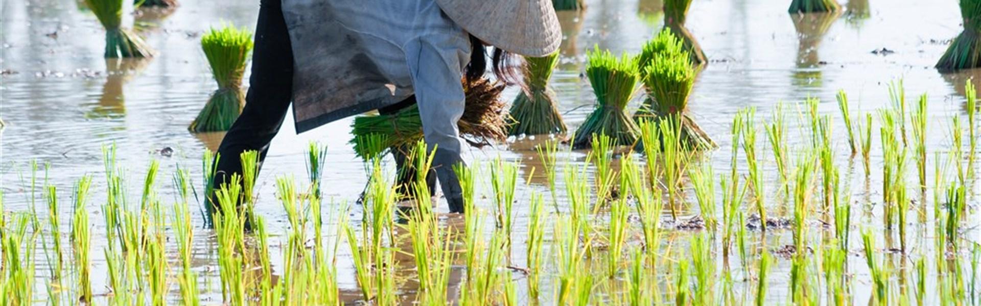 Okuh - Vietnam - od severu k jihu s českým průvodcem - Rýžová pole jsou symbolem venkova ve Vietnamu.
