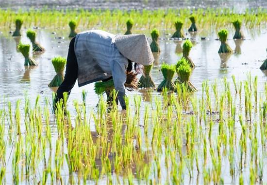 Okuh - Vietnam - od severu k jihu s českým průvodcem - Vietnam - Rýžová pole jsou symbolem venkova ve Vietnamu.