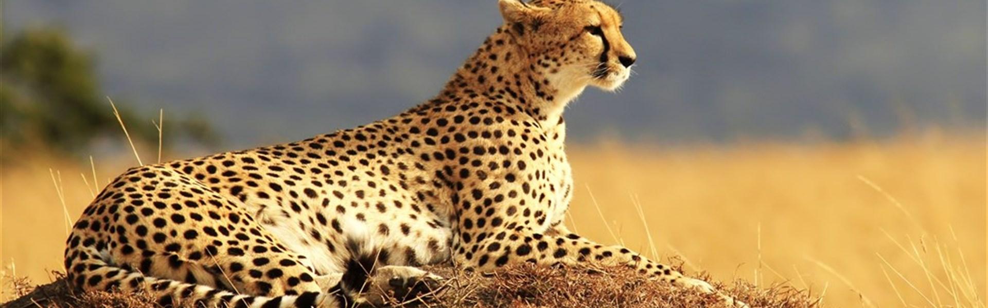 Safari v Keni - Putování za Velkou pětkou - s českým průvodcem - Gepard - foceno na safari v Masai Mara