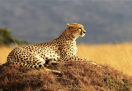 Safari v Keni - Putování za Velkou pětkou - s českým průvodcem - Keňa - Gepard - foceno na safari v Masai Mara