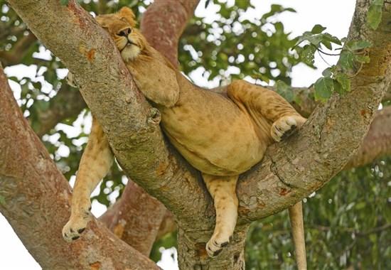 Safari v Ugandě - pozorování goril + pobyt na Zanzibaru - Afrika
