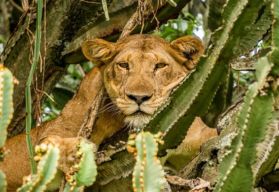 Safari v Ugandě - Objevte nebroušený diamant Afriky -  -
