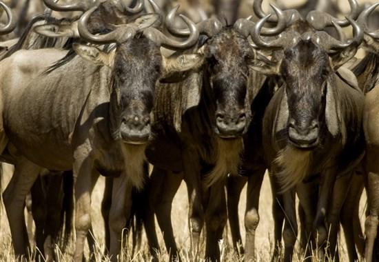 Velká migrace pakoňů v Masai Mara s českým průvodcem - Afrika
