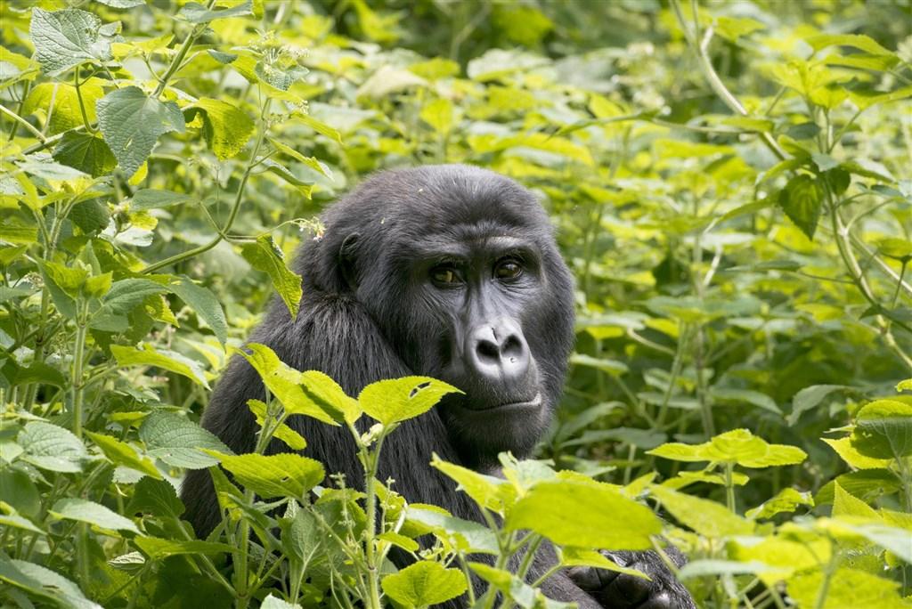 Uganda - nejen za gorilami s českým průvodcem -
